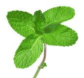Folhas de hortelã isoladas no fundo branco Fotos de Stock Royalty Free