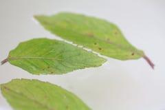 Folhas de hortelã na água Fotografia de Stock Royalty Free