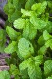 Folhas de hortelã verdes Fotos de Stock