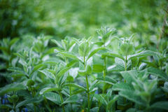 Folhas de hortelã fresca Fotos de Stock Royalty Free