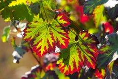 Folhas de incandescência do vinho imagens de stock