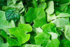 Folhas de Ivy Gourd fotos de stock royalty free