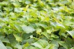 Folhas de Jicama Fotografia de Stock