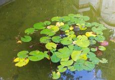 Folhas de lírios de água em uma lagoa Foto de Stock