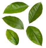 Folhas de Lemona Foto de Stock