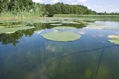 Folhas de Lilly no lago Foto de Stock Royalty Free