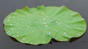 Folhas de Lotus Imagem de Stock Royalty Free