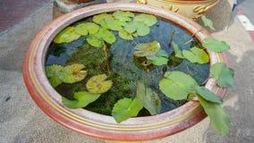 Folhas de Lotus na bacia da água Fotos de Stock Royalty Free
