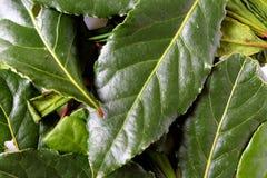 Folhas de louro frescas Imagem de Stock Royalty Free