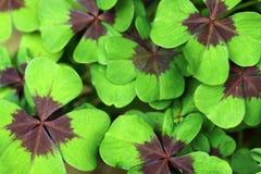 Folhas de Lucky Clover Fotografia de Stock