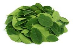 Folhas de Moringa Foto de Stock Royalty Free