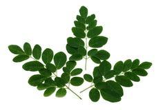 Folhas de Moringa isoladas no branco imagem de stock