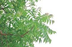 Folhas de Neem na natureza Fotografia de Stock Royalty Free