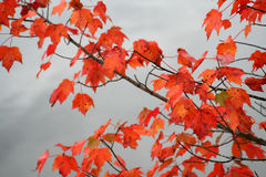 Folhas de outono Imagens de Stock Royalty Free