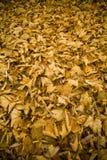Folhas de outono alaranjadas Fotografia de Stock Royalty Free