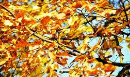 Folhas de outono alaranjadas amarelas, fundo natural borrado do outono da ecologia imagens de stock
