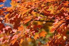 Folhas de outono alaranjadas na árvore Fotografia de Stock Royalty Free
