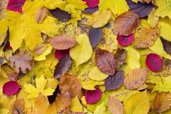 Folhas de outono aleatórias Foto de Stock