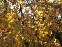 Folhas de outono amarelas foto de stock royalty free