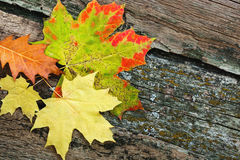 Folhas de outono amarelas Fotos de Stock