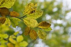 Folhas de outono amarelas da faia em um ramo Fotografia de Stock Royalty Free