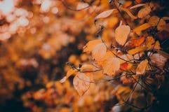 Folhas de outono amarelas em outubro fotografia de stock