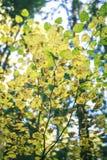 Folhas de outono amarelas em ramos Fotografia de Stock Royalty Free