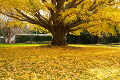 Folhas de outono amarelas em uma árvore Imagem de Stock