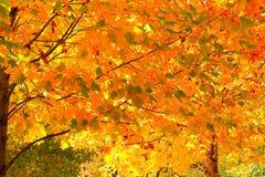Folhas de outono amarelas em uma árvore de sakura Fotografia de Stock Royalty Free