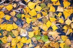 Folhas de outono amarelas na superfície da água Fotografia de Stock