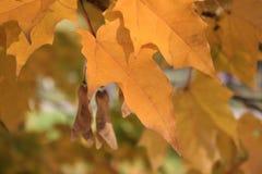 Folhas de outono amarelas no sol brilhante Fotografia de Stock Royalty Free