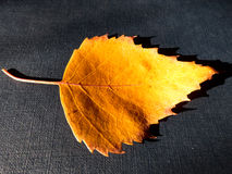 Folhas de outono amarelas pequenas no backgound preto Foto de Stock