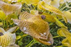 Folhas de outono atrasadas amareladas Imagens de Stock