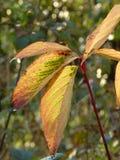 Folhas de outono backlit pelo sol Fotos de Stock Royalty Free