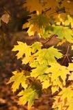 Folhas de outono bonitas fotos de stock royalty free