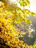 Folhas de outono brilhantes, árvores da queda Fotos de Stock Royalty Free