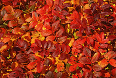 Folhas de outono brilhantes. Foto de Stock