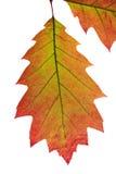 Folhas de outono brilhantes Foto de Stock