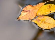 Folhas de outono brilhantes na água Fotografia de Stock