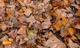 Folhas de outono caídas Imagens de Stock