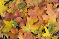 Folhas de outono caídas bonitas Imagens de Stock