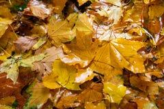 Folhas de outono caídas uma árvore a chuva cai neles Foto de Stock