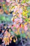 Folhas de outono coloridas Imagem de Stock