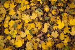 Folhas de outono coloridas Foto de Stock