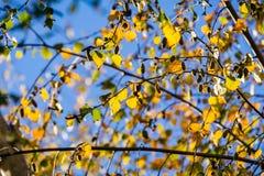 Folhas de outono coloridas de Betula Pendula dos vidoeiros de prata em um fundo do céu, Califórnia fotos de stock royalty free
