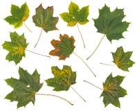 Folhas de outono coloridas bonitas da coleção no fundo branco Imagens de Stock