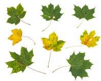 Folhas de outono coloridas bonitas da coleção no fundo branco Foto de Stock