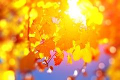 Folhas de outono coloridas, brilhantes Imagens de Stock