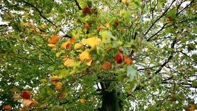 Folhas de outono coloridas com forte vento video estoque