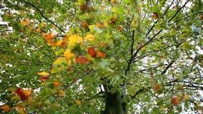 Folhas de outono coloridas com forte vento no movimento lento video estoque
